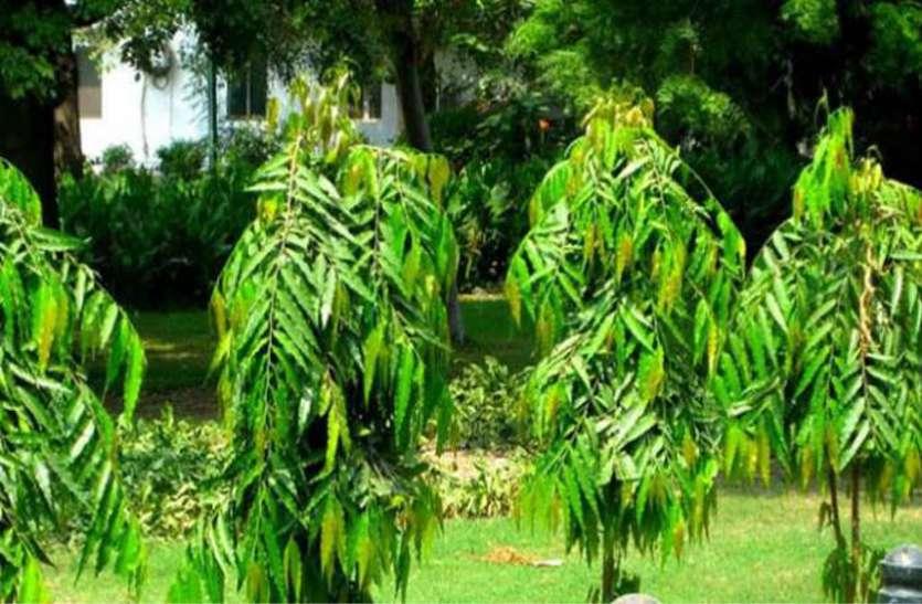ashok tree,nari