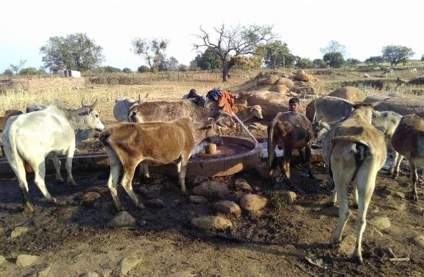 इस जिले में कुपोषण का शिकार हो रहा गौवंश