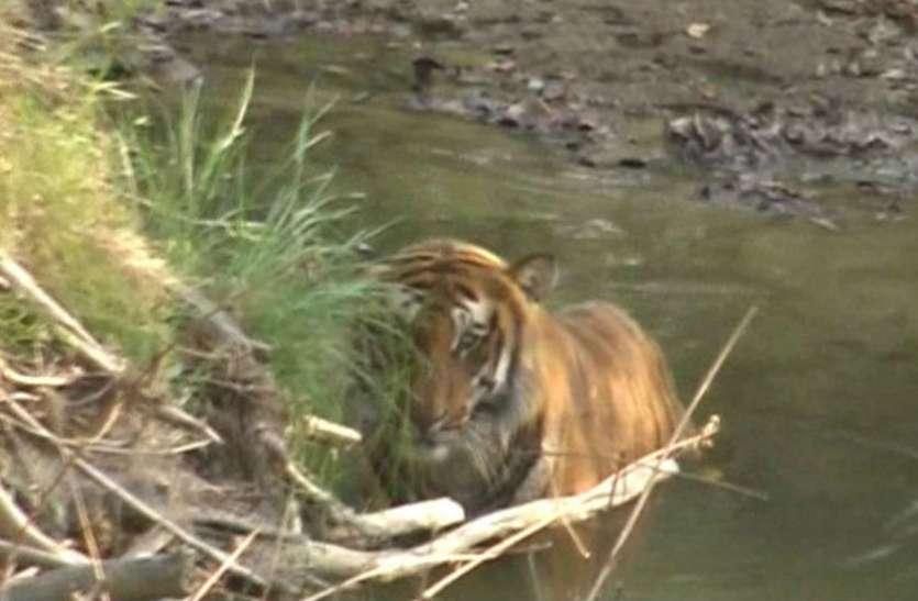 नदी किनारे टाइगर ने डाला डेरा, खौफ के साये में ग्रामीण
