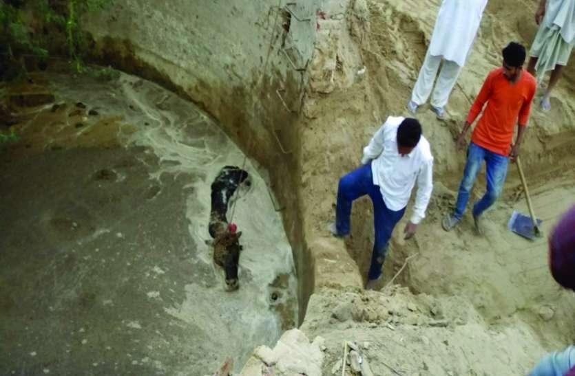 Video: जैतसर के गांव चार एलसी की घटना, पानी से भरी डिग्गी में गिरा सांड