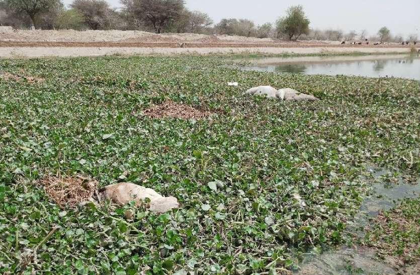 JAISALMER NEWS- राजस्थान में 35 दिन की नहरबंदी समाप्त, अब यहां पानी में तैर रहे शव!