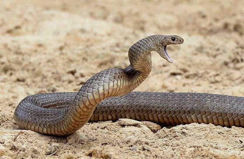 JAISALMER NEWS- रेगिस्तान में बिल से बाहर निकले नागराज उगल रहे जहर मचा आतंक