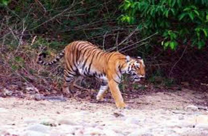बाघ बाघिन के मध्य आकर्षण बढ़ते ही बाड़े से रिलीव कर दी जाएगी बाघिन