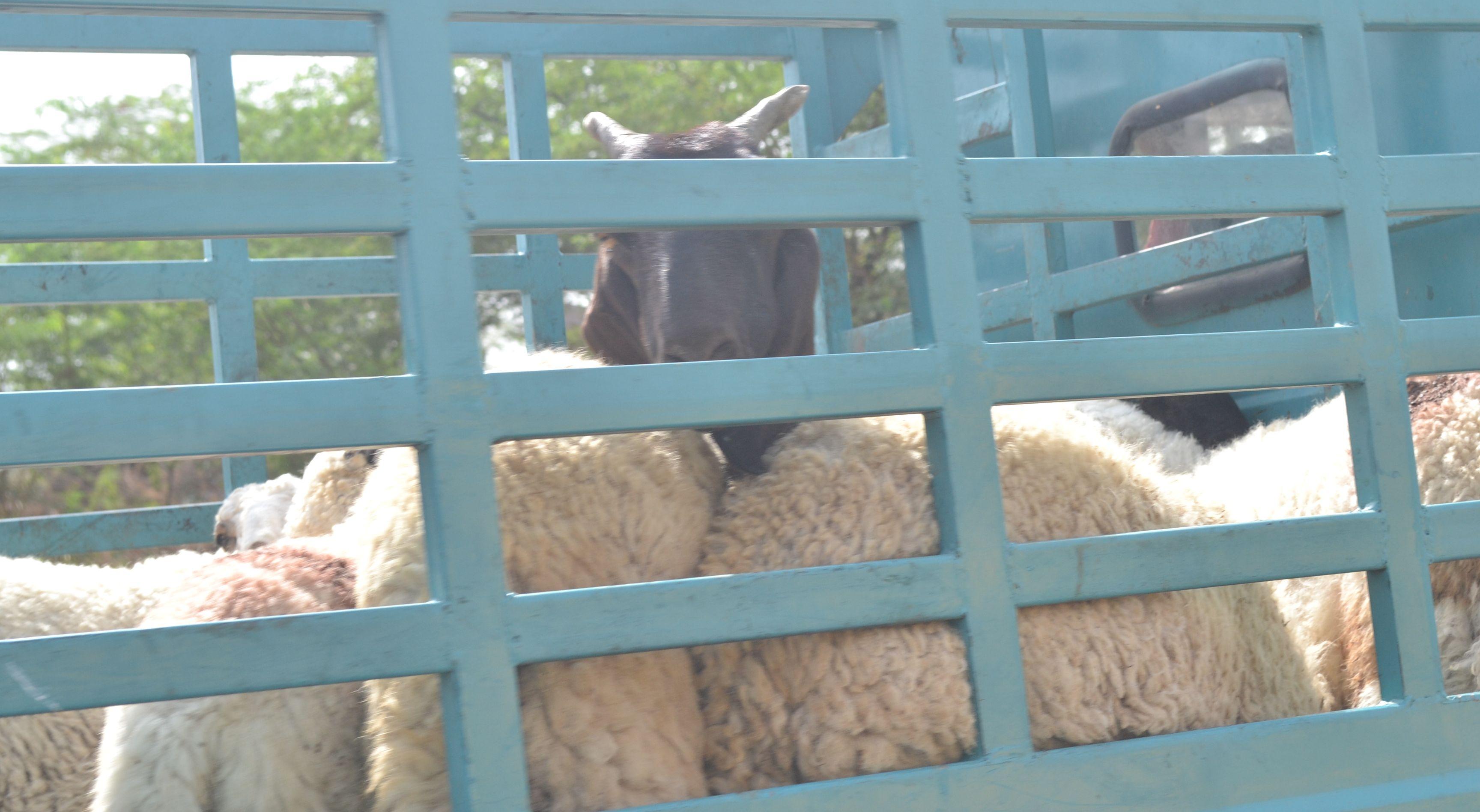 patrika investigation : राजस्थान के इस शहर की पशु मंडी धड़ल्ले से बिना रोक टोक हो रहा ये गंदा काम, पढ़ें क्या है पूरी खबर