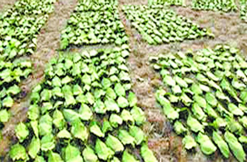 तेंदुपत्ता संग्रहण में ठेकेदारों ने नहीं दिखाई रूचि, खरीदी में पिछड़ गया वन विभाग