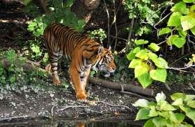 छत्तीसगढ़ में बाघों की सुरक्षा में बड़ी लापरवाही, उदंती टाइगर रिजर्व में मिली एक और बाघ की खाल