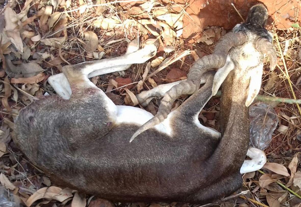 10-12 आवारा श्वानों का झुंड खेत-खलिहानों में घूमता रहता है, जब भी मिलें हिरण पेट फाड़कर खा जाते हैं ये उन्हें