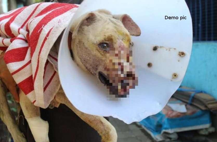 OMG! हड्डी समझ कर कुत्ते ने खा लिया बम, धमाके में उड़ गए चीथड़े, मचा हड़कंप