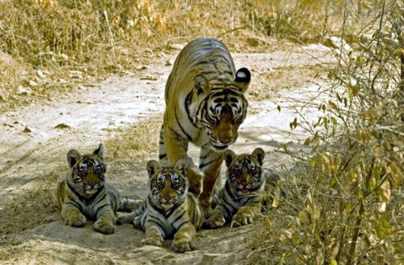 इस शहर में जल्द दहाड़ेंगे बंगाल टाइगर, बनेगी सबसे बड़ी सफारी