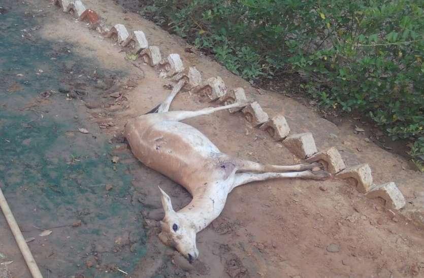 नहीं थम रहा हिरणों की मौतों का सिलसिला
