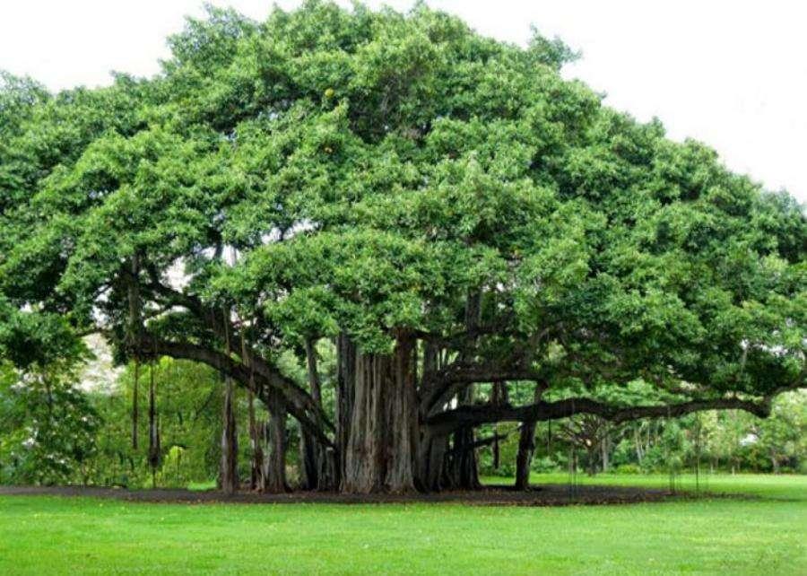 Vastu Shastra Tips For Money In Hindi, Vastu Tips Tree Hindi - ये पेड़ बना  देगा करोड़पति, भर जाएगी खाली तिजोरी | Patrika News