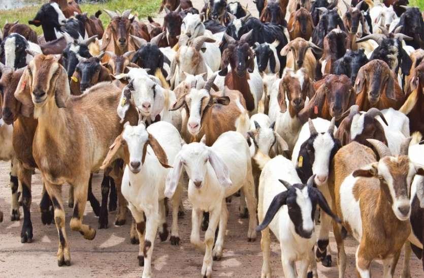भेड़-बकरियों में मौसमी बीमारियों का प्रकोप