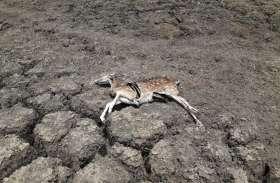 शिवपुरी नेशनल पार्क में भूख प्यास से मर रहे हैं वन्य प्राणी