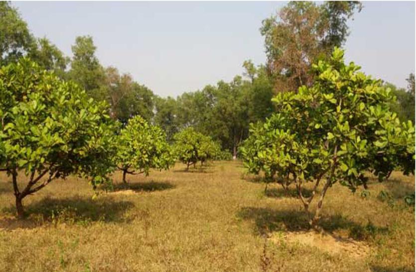 बीएयू को देश में सबसे बड़े आकार का काजू पैदा करने में मिली सफलता