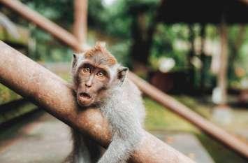 वृंदावन में 50 से अधिक बंदर मार डाले, आखिर कौन है दुश्मन, रहस्य गहराया, देखें वीडियो