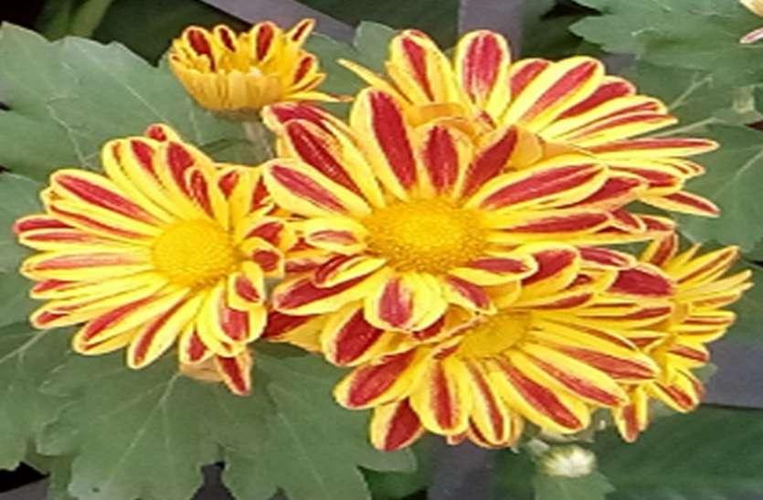 गुलदाउदी के फुलों को निहारने पहुंचे लोग,बिक्री कल