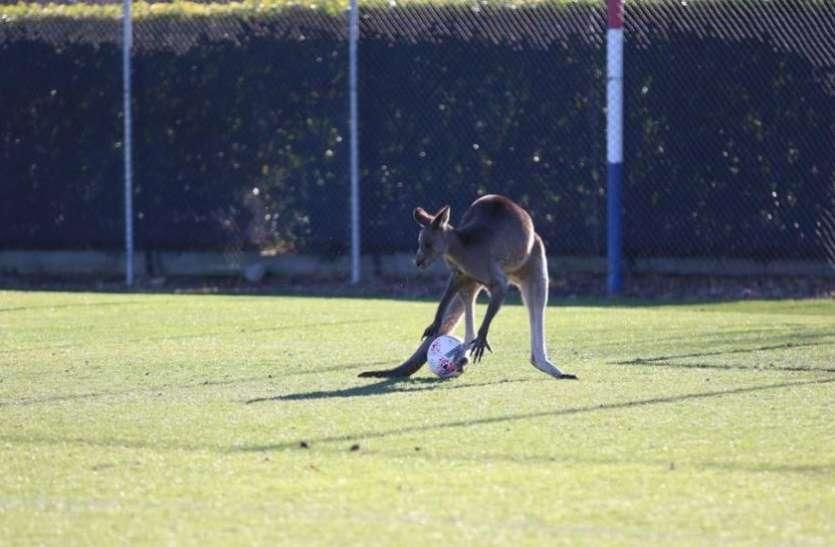 वीडियो: कंगारू ने फुटबॉल मैदान पर किया कब्जा, दर्शक-खिलाड़ी हुए हैरान