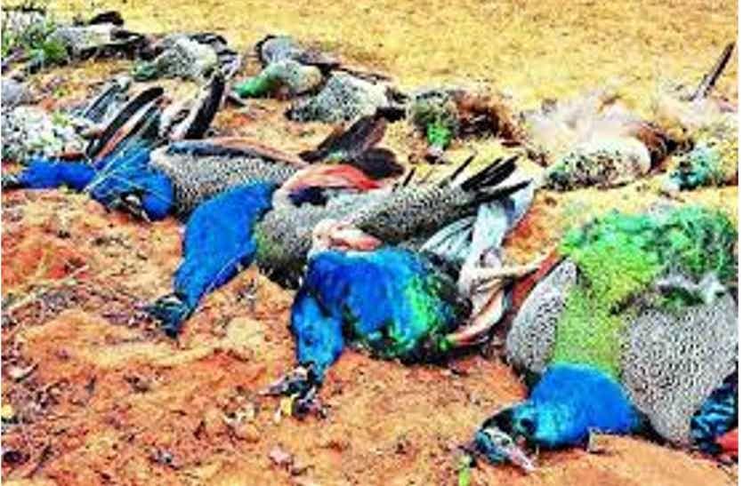 जहरीला दाना बना राष्ट्रीय पक्षी की मौत का कारण