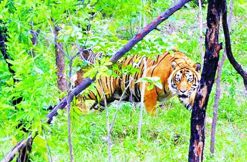 पेंच बफर जोन में बाघ की दहशत, ग्रामीणों ने खेत-जंगल जाना छोड़ा