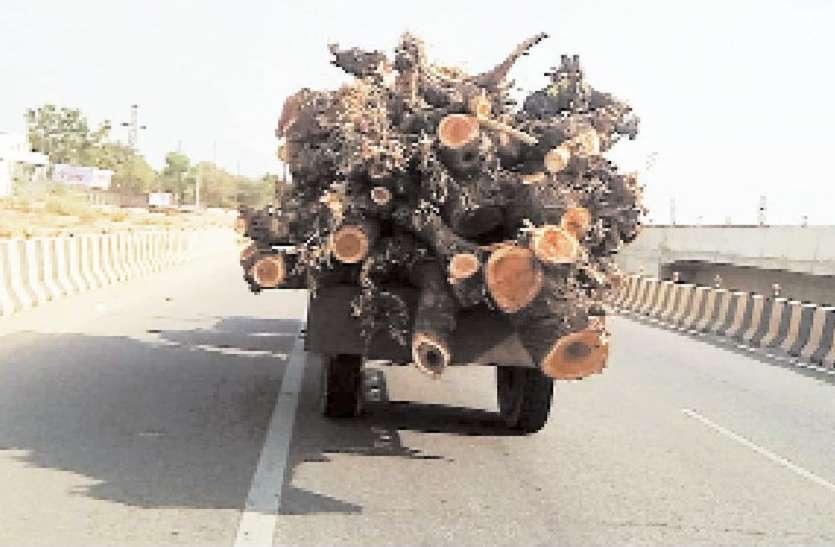 चल रहे कुल्हाड़े, संकट में राज्यवृक्ष