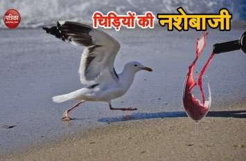 इंग्लैंडः समुद्र किनारे मिलीं लड़खड़ाती 'टल्ली चिड़िया', लोगों ने की शिकायत फिर हुआ इलाज