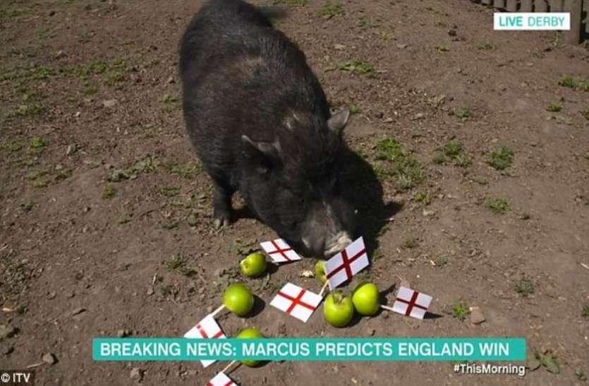 इंग्लैंड पचा नहीं पा रहा है अपनी हार, अब बेजुबान पिग को मार कर खाने की हो रही बात