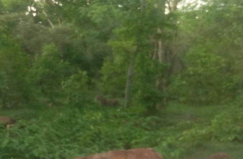 खोरी के जंगल में दिखा बाघ, ग्रामीण दहशत में
