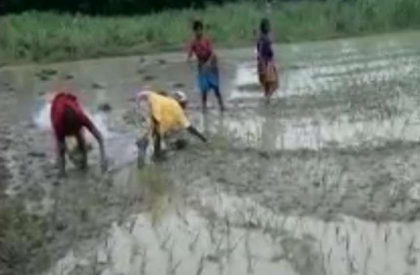किसानों की गृहणियां ने खेतों में लोकगीत गाया, की धान की रोपाई