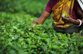 असम में यहां बिकती है,  39000 रुपए किलों  चायपत्ती