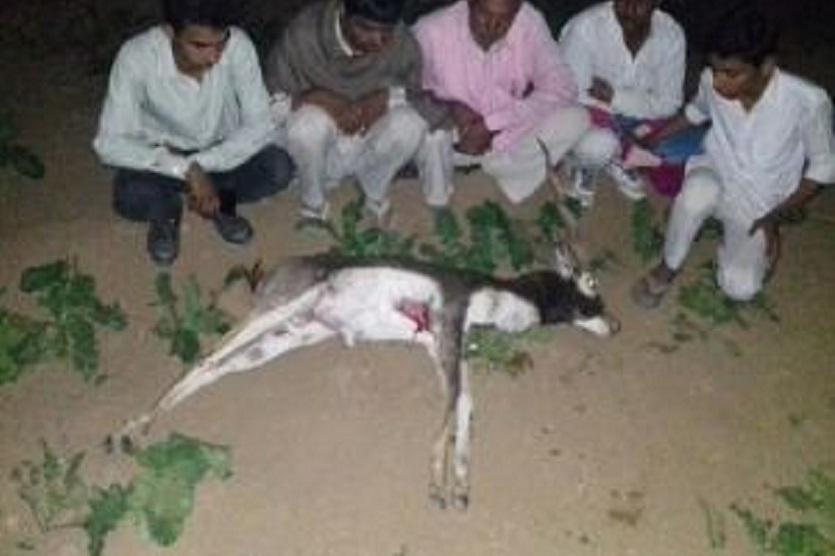 यहां दिन हो रहा हिरणों का शिकार, शव दिखने पर गांवों में मच जाता है कोहराम, लेकिन सरकार के पास नहीं शायद उनके लिए कोई मरहम