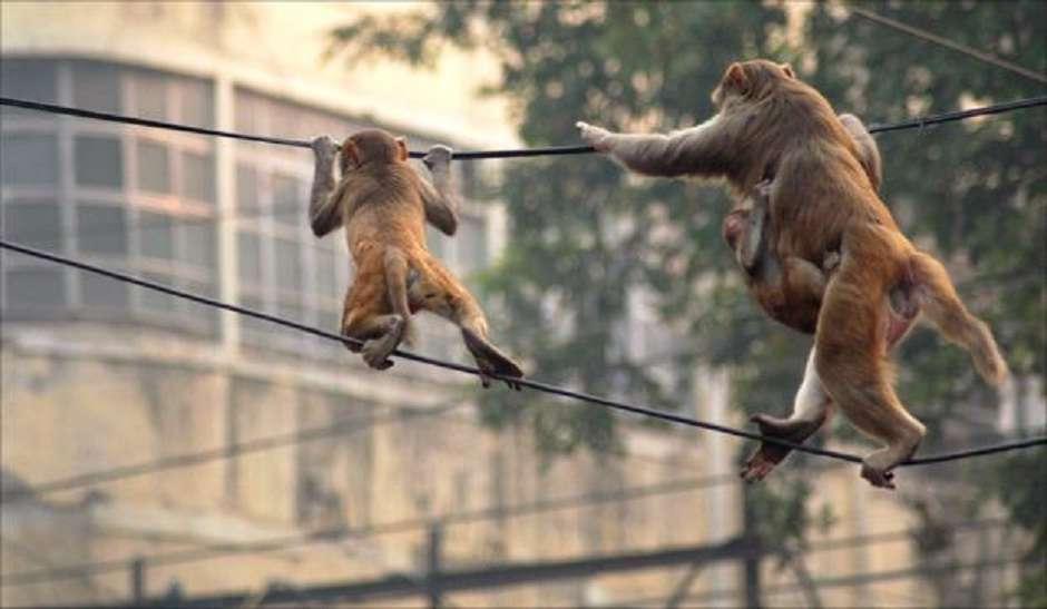 बंदरों के आतंक के चलते लोगों का जीना मुहाल, राह चलते ले भागते हैं चीजें, बच्चों को भी काट लेते हैं