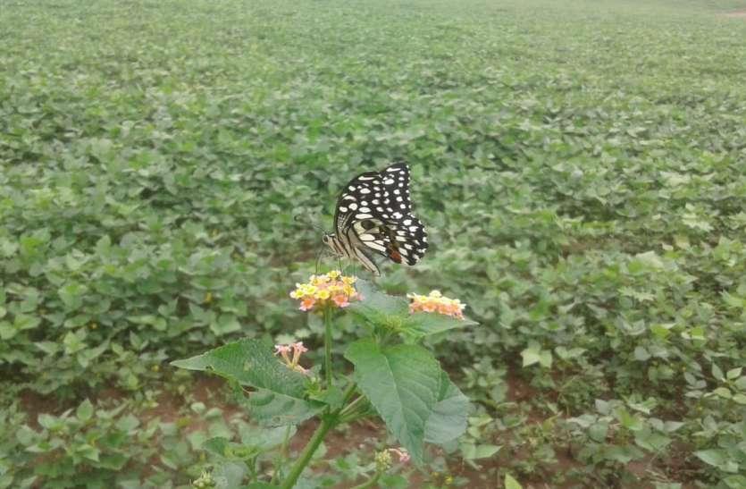 खेतों पर बहुतायत उड़ रही तितलियां, असमंजस में किसान