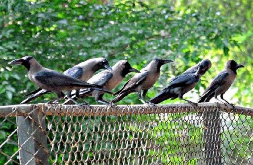 फ्रांस के पार्क को साफ रख रहे हैं छह कौवे, गंदगी न फैलाने की दे रहे सीख