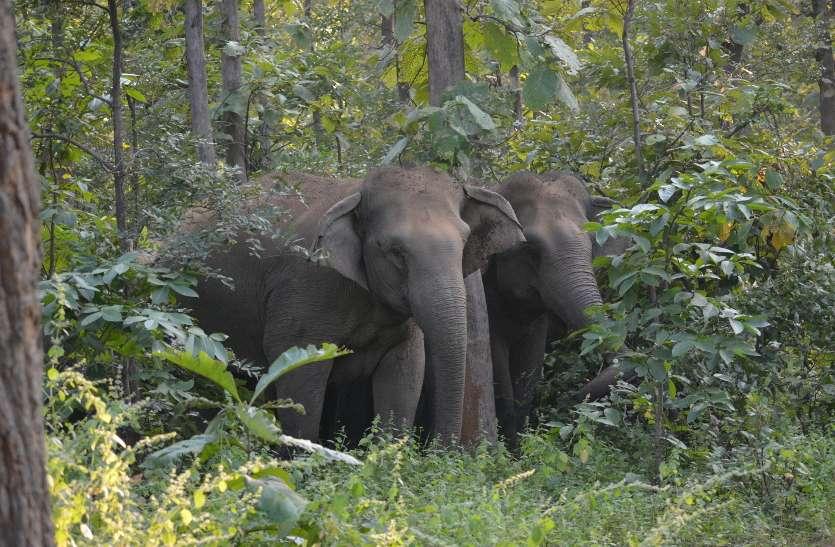 Breaking : हाथियों ने फिर एक ग्रामीण की ली जान, शव के कर दिए टुकड़े-टुकड़े