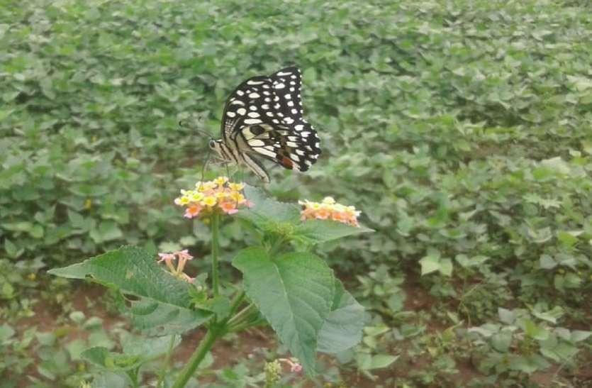 खेतों पर मंडरा रहे तितलियों के अजीब झुंड, कांप उठे किसान, देखें लाइव वीडियो