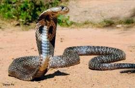 video :  सड़क के बीच बैठे कोबरा सांप को देख उड़े लोगों के होश...बाल-बाल बच कर निकले वाहनधारी