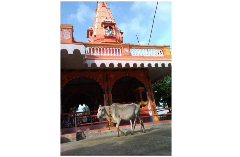 आखिर ये गाय क्यों कर रही मंदिर की परिक्रमा