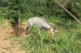 नीलगाय के गले में फंसा लोहे का तार, दिनभर तडफ़ता रहा बेजुबान जानवर