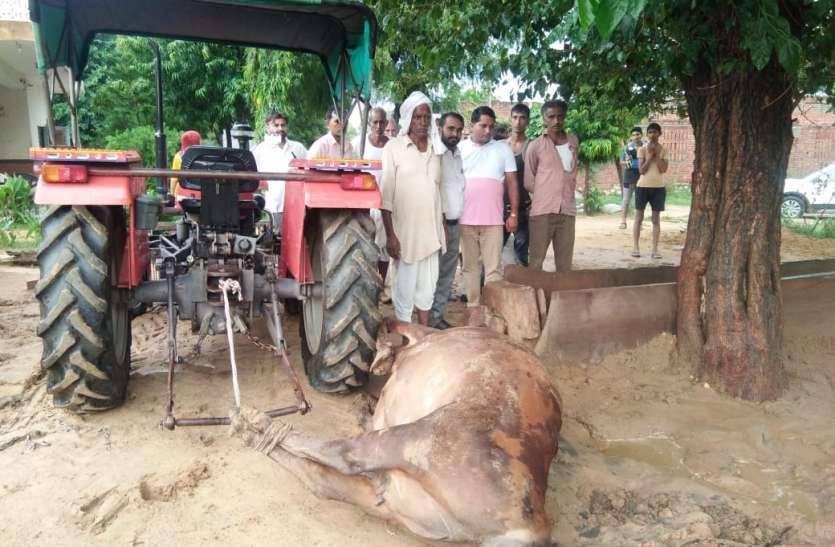 बिजली गिरने से दो गायों की मौत