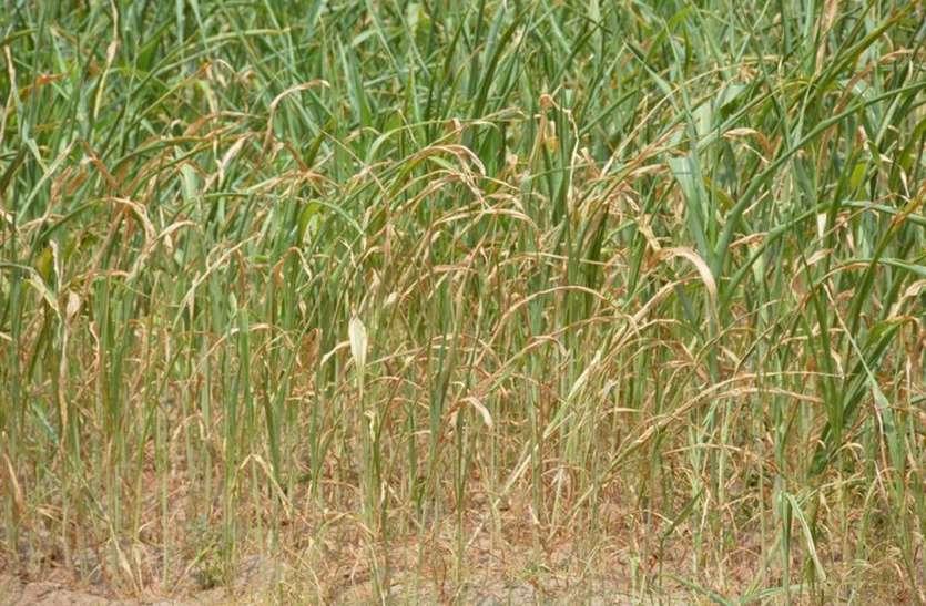 हल्की बरसात में फसलों को मिली संजीवनी