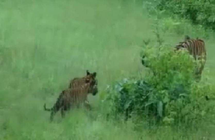 पन्ना टाइगर रिजर्व में 40 के पार हुई बाघों की संख्या, बढ़ेगा पर्यटन का दौर