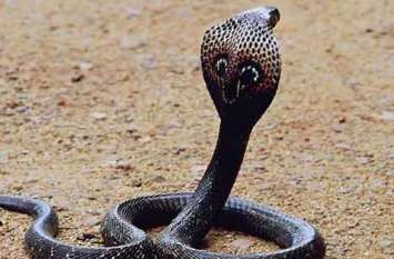 एक कोबरा सांप को मारा तो निकाल दूसरा, उसे मारा तो हुआ ऐसा कि कांप गई पुलिस वालों की रूह