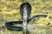 जू में कोबरा के दिखने से मचा हड़कंप,बेजुबानों को बना रहा अपना शिकार