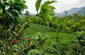 बाढ़ से कर्नाटक में कॉफी किसानों को 675 करोड़ रुपए का नुकसान, हो सकती है किल्लत