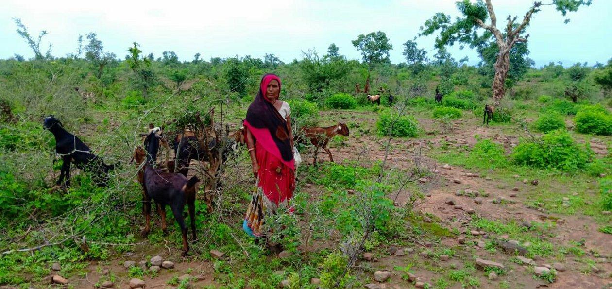 कभी लालबत्ती में घूमती थीं, आज पेट पालने जंगल में चरा रहीं बकरियां