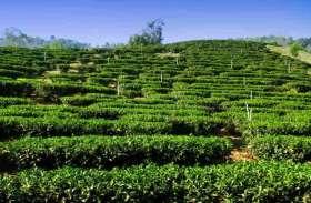 असम की चाय की ब्रांडिग के लिए नियुक्त होगा ब्रांड एंबेसेडर,इन मशहूर हस्तियों के नाम आ रहे हैं सामने