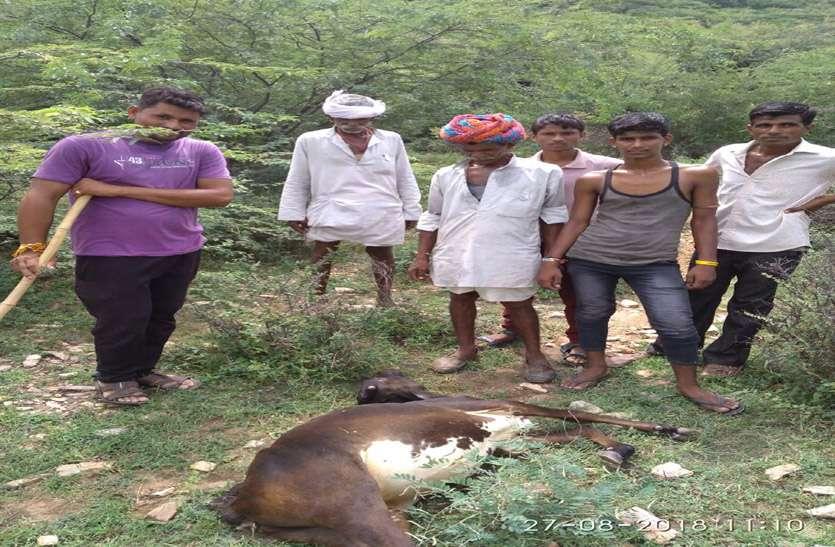 टोंक शहर में पैंथर की दस्तक, बछड़ी का किया शिकार, किसान खेत छोड़ भागे, आसपास के  इलाके में दहशत