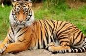 बांधवगढ़ की आदमखोर बाघिन को वापस करेगी उड़ीसा सरकार