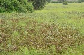 40 गांवों में सोयाबीन की फसल हुई खराब, प्रशासन करा रहा सर्वे