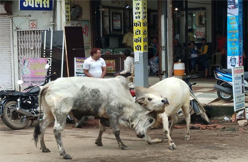 बीच सड़क पर आधा घंटे तक चलती रही सांड की लड़ाई, बाल-बाल बचे लोग